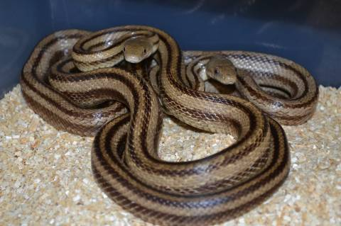 Medium Yellow Ratsnakes