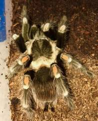 Mexican Flame Knee Tarantulas Adults
