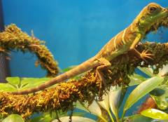 Small Chinese Water Dragons