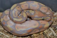 Baby Banana Calico Ball Pythons