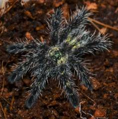 Amazon Sapphire Pink Toe Spiderlings