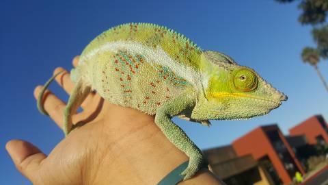 Adult Analovana Panther Chameleons