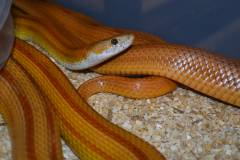 Adult Goldish-Brown Striped Cornsnakes