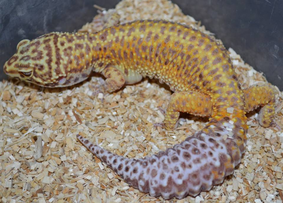 Adult Bell Albino Tangerine Leopard Geckos
