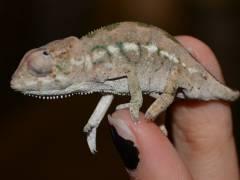 Chameleons For Sale Lllreptile