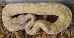Baby Banana Pewter Bee Ball Pythons