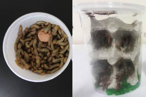 200 Crickets, 50 Calcium Worms AND 50 Mealworms Combo Pack