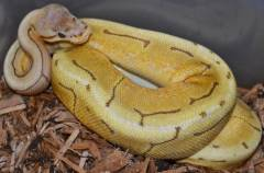 Baby Caramel Spinner Ball Pythons