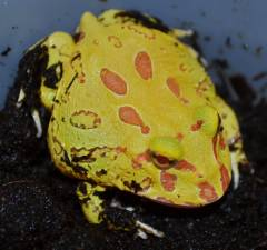 Baby 4 Spot Patternless Albino Pacman Frogs