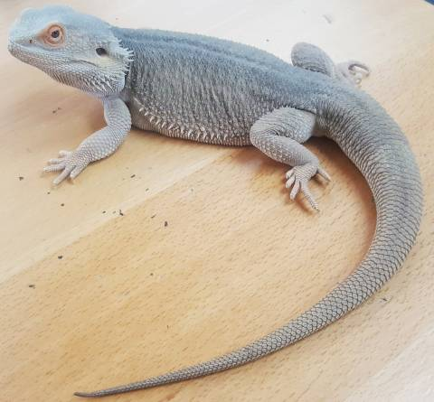 Adult Male Hypo Witblits Bearded Dragon