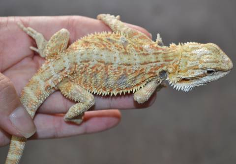 Large Hypo Bearded Dragons