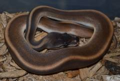 Baby Cinnamon Genetic Stripe Ball Pythons