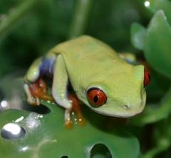 Baby Red Eyed Tree Frogs