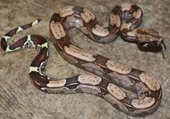 Baby Suriname Red Tailed Boas