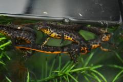 Southern Crested Newts