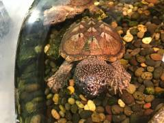 Giant Mexican Musk Turtles