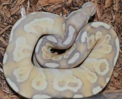 Baby Banana Lesser Ball Pythons