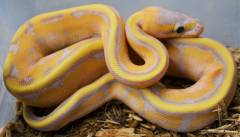 Baby Banana Genetic Stripe Ball Pythons