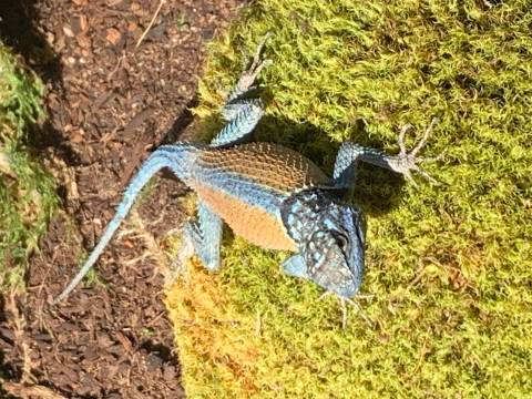 Northern Blue Mountain Lizards
