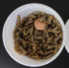 50 Calcium Worms Shipped WITH Your Reptile Order