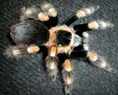 Mexican Red Knee Tarantulas Adults