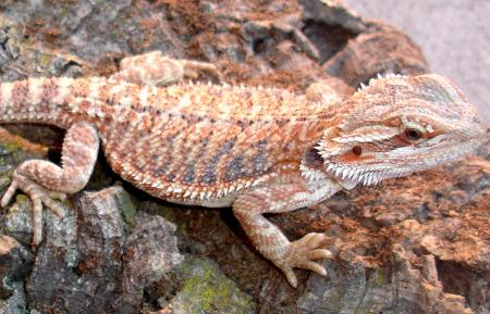 Medium Hypo Red Bearded Dragons