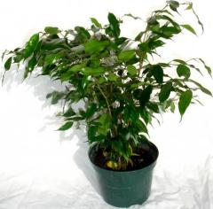 "Small Ficus Tree (live) 6"" Pot"