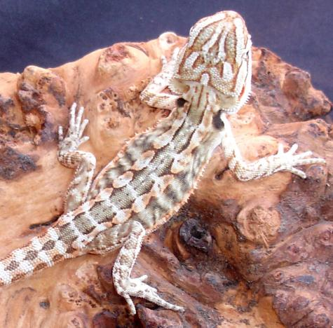 Small Leatherback Bearded Dragons