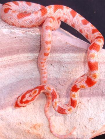 Fluorescent Orange Corn Snake Baby Fluorescent Orang...