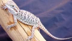 Baby Hypo Leatherback Bearded Dragons