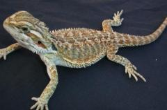 Small Bearded Dragons