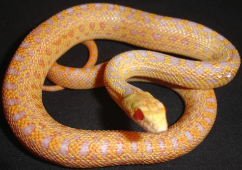 Baby Albino Applegate San Diego Gopher Snakes For Sale