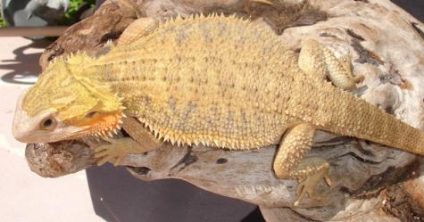 Final, sorry, Adult bearded dragons for sale impossible