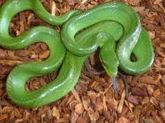 Small Green Red Tailed Ratsnakes