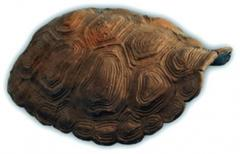 Tortoise Hide Shell 1