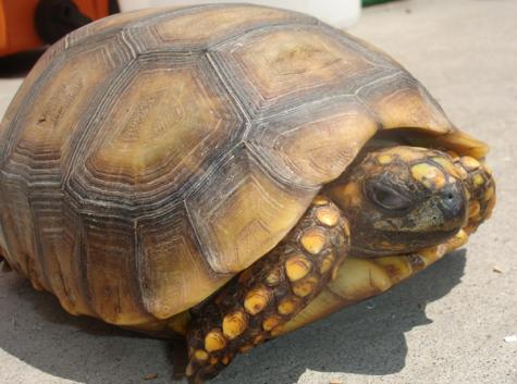Large Yellow Foot Tortoises For Sale