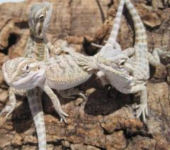 Baby Hypo Bearded Dragons