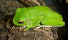 White Lipped Tree Frogs