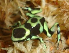 Hawaiian Green & Black Auratus Arrow Frogs
