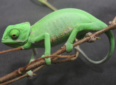 Baby Veiled Chameleons For Sale