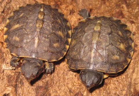 Baby Gulf Coast Box Turtles For Sale