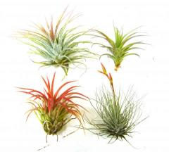 Small Assorted Tillandsias