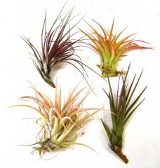 Medium Assorted Tillandsias