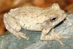 Grey Tree Frogs