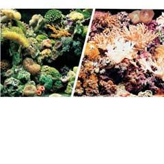 Marine Reef / Coral Background 12""