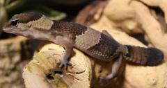 Sub Adult African Fat Tailed Geckos