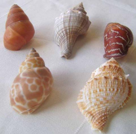 Medium Hermit Crabs Shells