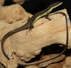 Long Tailed Grass Lizards