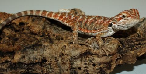 Small Hypo Red Leatherback Bearded Dragons w/minor nip tails