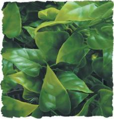 Zoo Med Mexican Phyllo Bush Plant Small